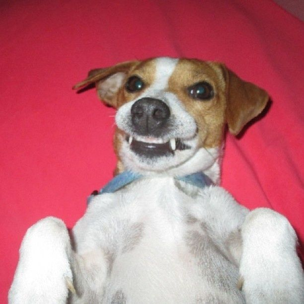 25 Best Ideas About Mini Jack Russell On Pinterest Jack