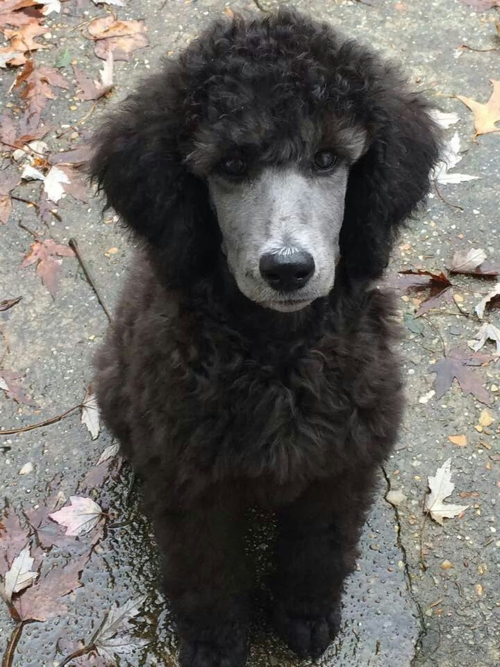 Silver Poodle Just Love The Intense Expression Think Someone Has