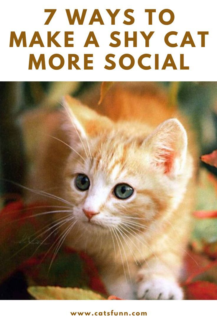 7 Ways To Make A Shy Cat More Social In 2020 Cat Behavior Cats Cat Training