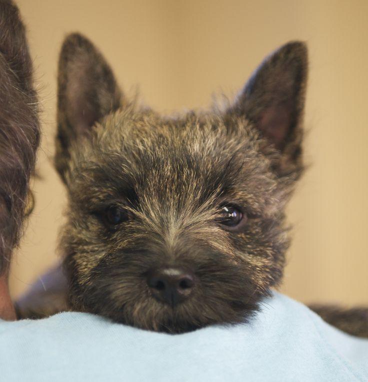 Cairn Terriers, Cairn Terrier Puppies, Cairn Terrier Breeder ...