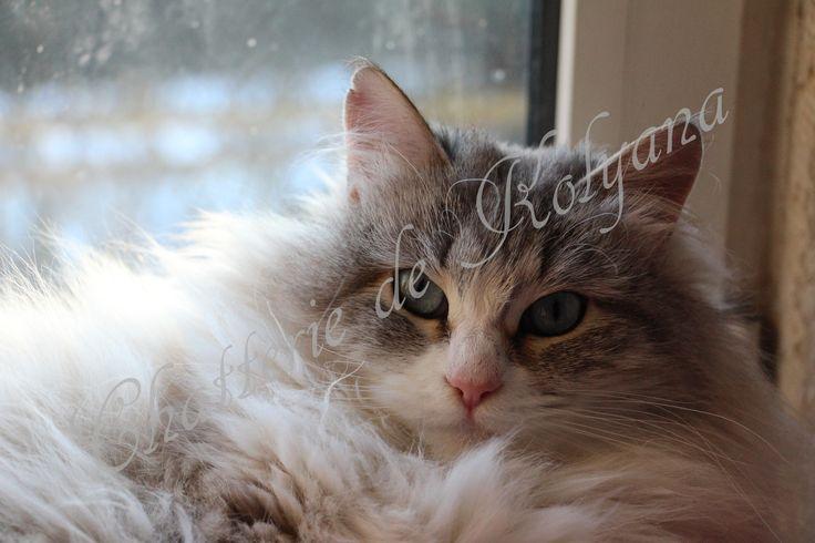 chat siberien-chatterie de kolyana
