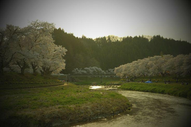 "The thousand of cherry tree in Natsui (called ""SEN-BON ZAKURA); 2014.04, at Natsui in Ono-town, Fukushima, JAPAN"
