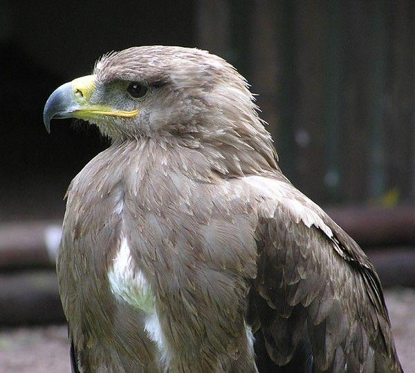 L'Aigle ravisseur (Aquila rapax) est un rapace diurne de la famille des Accipitridae