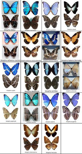 Blue Morpho Butterfly Chart - Photo by Ben Bolet