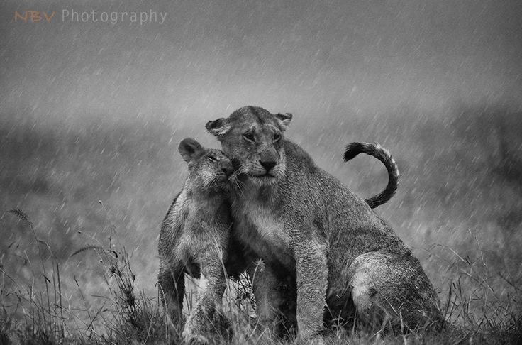 An African lioness and her cub during the rains in Masai Mara. #Adventure #Travel #Wildlife #Photography #NBVphotography