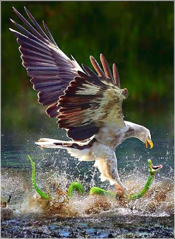 Eagle Catch A Snake On The Water