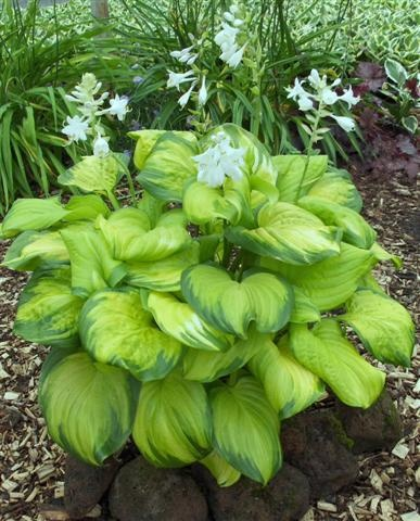 Hosta Guacamole... just bought for my shady flower bed.