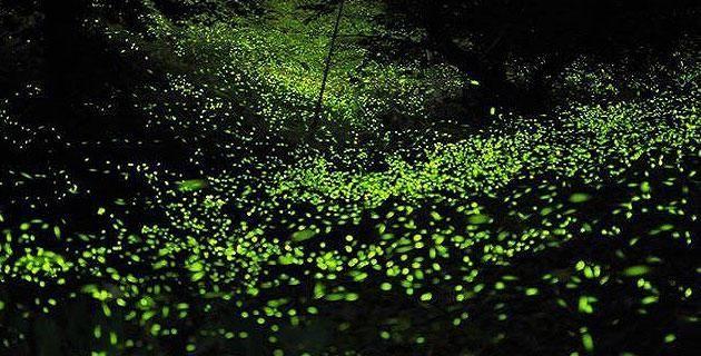 """Temporada de luciérnagas en Tlaxcala. Con la llegada del verano, entre los meses de junio y agosto, estos pequeños voladores """"brillantes"""" se apoderan de las noches en los bosques de Nanacamilpa. ¡Descubre este espectáculo natural!"""