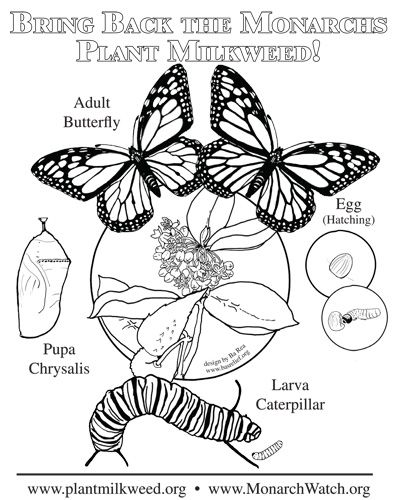 plant milkweed simple coloring page monarch butterflies