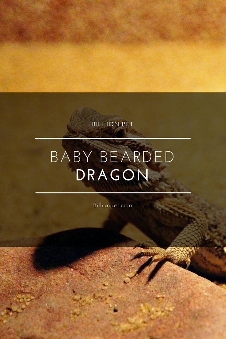 baby bearded dragon #beardeddragons