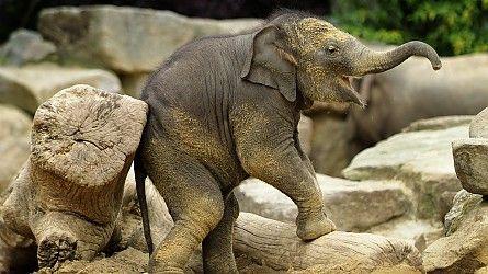 Olifanten » Dierenpark Emmen