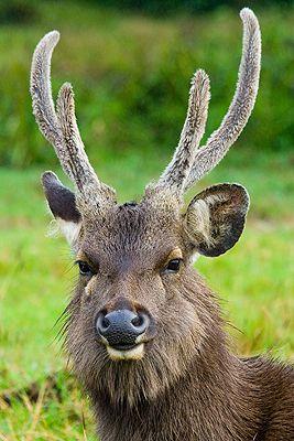 Sri-lanka  Horton Plains    Sambar Deer in the Horton Plains