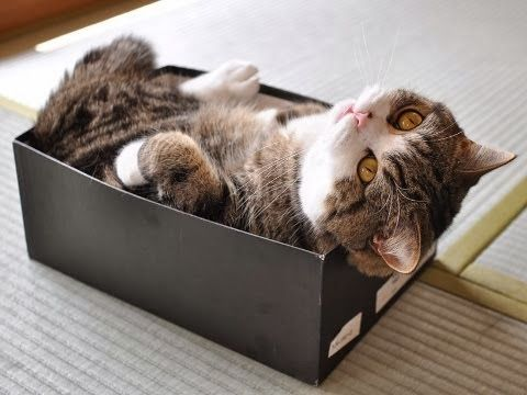 Maru Loves Boxes & 252 best For the Love of Maru images on Pinterest | Cats Funny ... Aboutintivar.Com