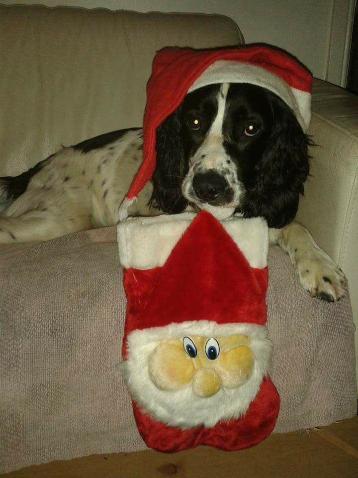 Pin By Stephanie Qualio On Spaniels Christmas Dog Beautiful Puppy Springer Spaniel