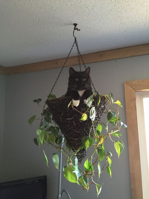 "JUST HANGIN' AROUND..........DOMESTIC CAT....aka the housecat, alleycat, or moggie....the ""mutt"" of the cat world....an every-day non-pedigreed cat....first domesticated by farmers in the Near East around 9,000 years ago....three basic colors exist: red ("