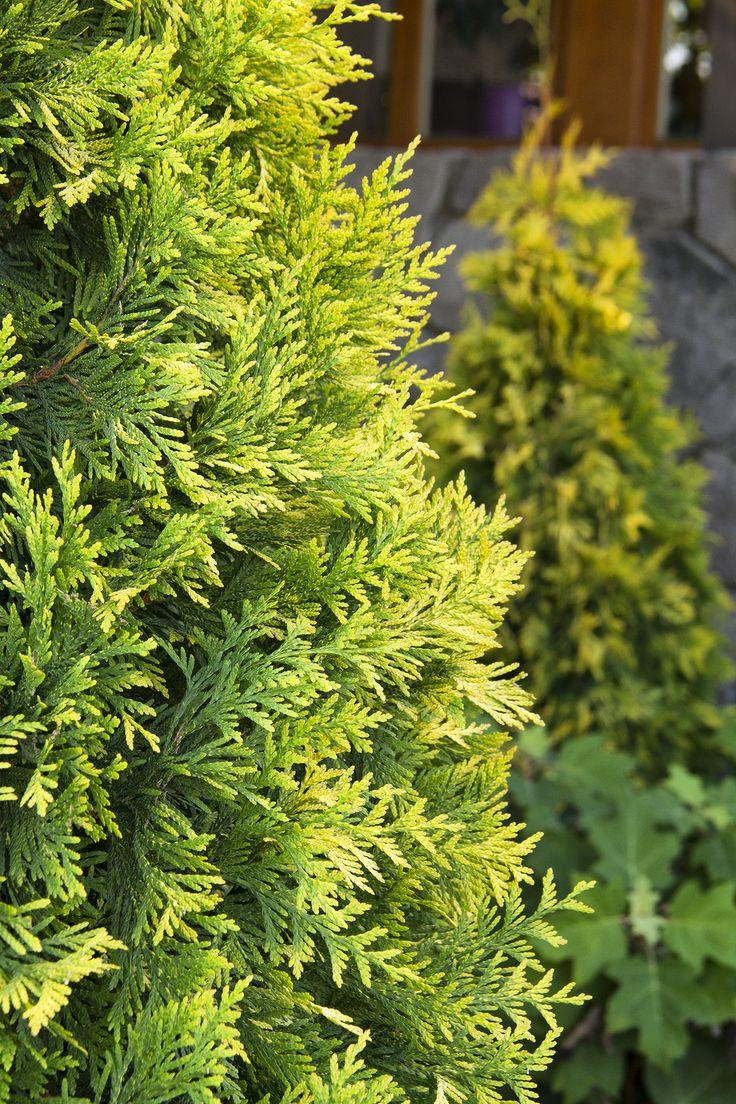 Golden feather arborvitae large tall evergreen for Tall evergreen shrubs