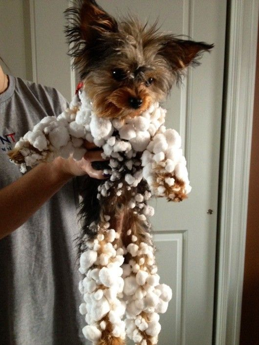 Snowball yorkie - Haha Romeo looks like this in the snow!
