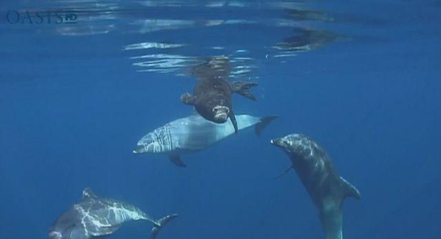 Varios delfines ayudan a una cría de foca que lucha por volver a aguas profundas