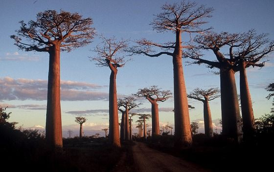 These stunning trees are part of genus Adansonia, which contains 8 species and are found in Africa, Australia and Madagascar. The tree doesn't just look like a bottle -- it also functions as one. Baobabs have adapted to survive severe drought conditions by storing hundreds of gallons of water inside the trunk.