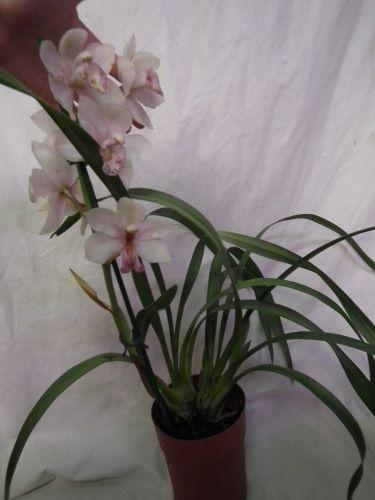 Re:желт цимбидум (чтение) - Все о комнатных растениях на flowersweb.info
