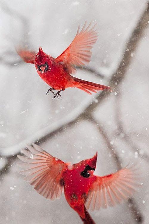 Cardinals in snowstorm
