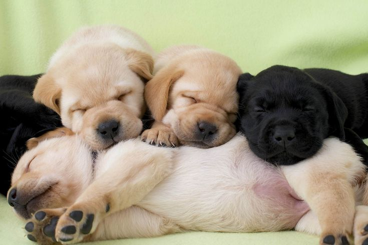 Yellow and black labrador are the best! :) ;)