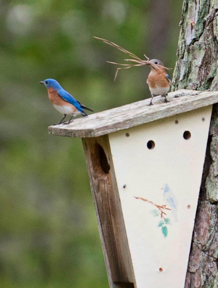 Busy little bluebirds so is it finally spring??
