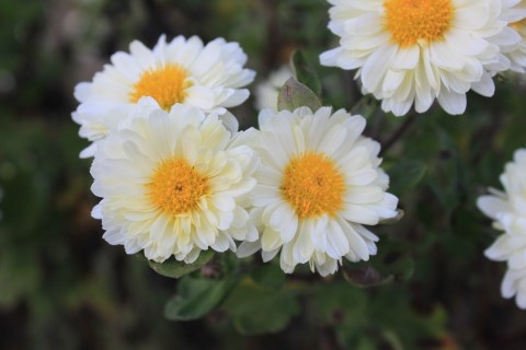 Perennial Chrysanthemums, White Mums