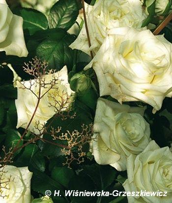 Róża wielkokwiatowa 'Polarstern' ('Polar Star') Rosa 'Polarstern' ('Polar Star')  Początkowo kwiaty są seledynowe, a w miarę rozkwitania ...