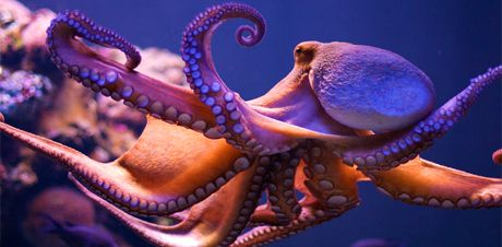 Deniz altında Binbir Surat Bir Ahtapot
