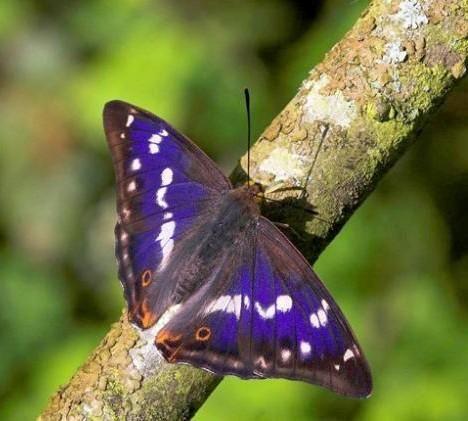 butterfly: Beautiful Butterflies, I Love Purple, Purple Butterflies, Emperor Butterflies, Butterflies Wings, Purple Emperor, Iris, Butterflies Moth, Animal