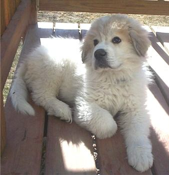 Great Pyrenees puppy.  I love these dogs. I'll never own another breed!