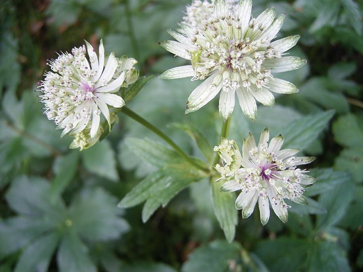 This week's flower of the week is the Astrantia. It is also called Great Masterwort or Hattie's pincushion....so pretty!