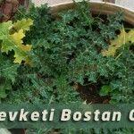 Bostan Otu – Şevketi Bostan Bitkisinin Faydaları