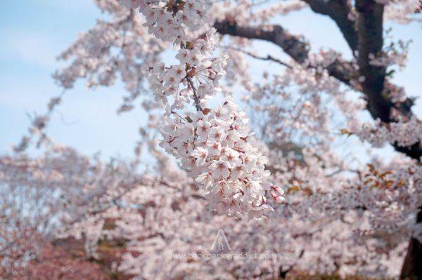 Musim semi adalah musim dimana bunga Sakura mulai mengeksiskan diri. Jujur saja, pada awalnya saya tidak terlalu berekspektasi akan mendapatkan pemandangan Sakura di Hakodate, sebab banyak kabar simpang siur bahwa munculnya bunga Sakura akan berakhir di akhir bulan April. Namun, Puji Tuhan, akhirnya bisa menikmati spektakuler Hanami dari dekat.