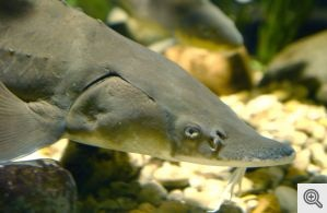 """Contrary to popular belief that lake sturgeon re """"living fossils"""", when taking their body size into consideration, they are actually one of the fastest evolving fish on the planet."""