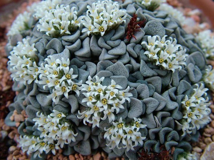 Les 91 meilleures images du tableau crassula sur pinterest for Plante crassula