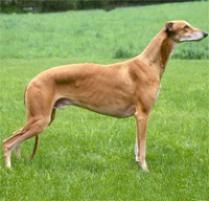 The Greyhound Dog Breed: Known as 'the world's fastest couch potato,' the Greyhound is quiet, calm and extremely well-mannered indoors. They are good with other dogs, ...