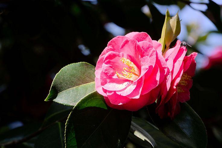 #arbuste #botanique #cognassier #cognassier du japon #fleur #floraison #flore #la nature #plantes #printemps