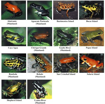 14 of the 15 color morphs of Strawberry poison-dart frogs (Dendrobates pumilio) in Panama – photos by K. Summers and Marcos Guerra