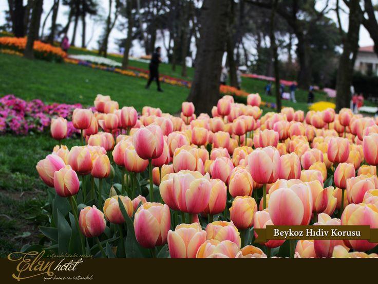 Lale festivali kapsamında Hıdiv Çubuklu Korusu'na 23 farklı türde 450.000 lale dikildi :) #elanhotelistanbul #istanbul #tulip #lale #hidivkasri #Turkey #Turkiye