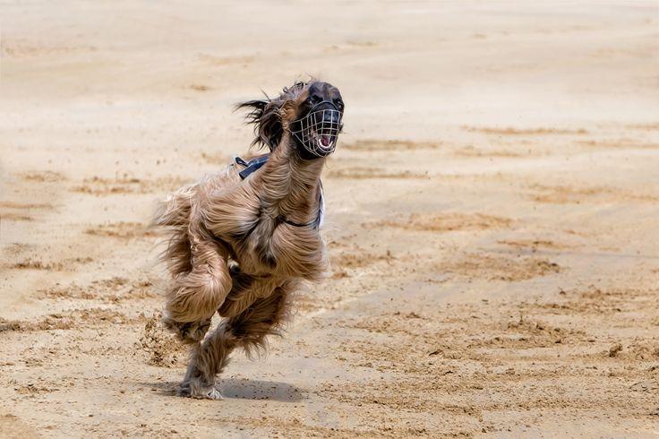 """Sausebraus""  Hunderennen, Afghane, Windhund  .  Animal Photography Artwork"