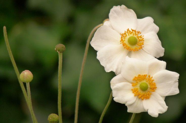 Herfstanemoon (Anemone 'Honorine Jobert') - p9 - De Tuinen van Appeltern