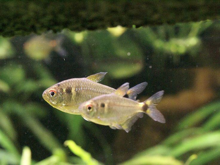 Les 25 meilleures id es concernant poisson tetra sur for Poisson tropicaux eau douce
