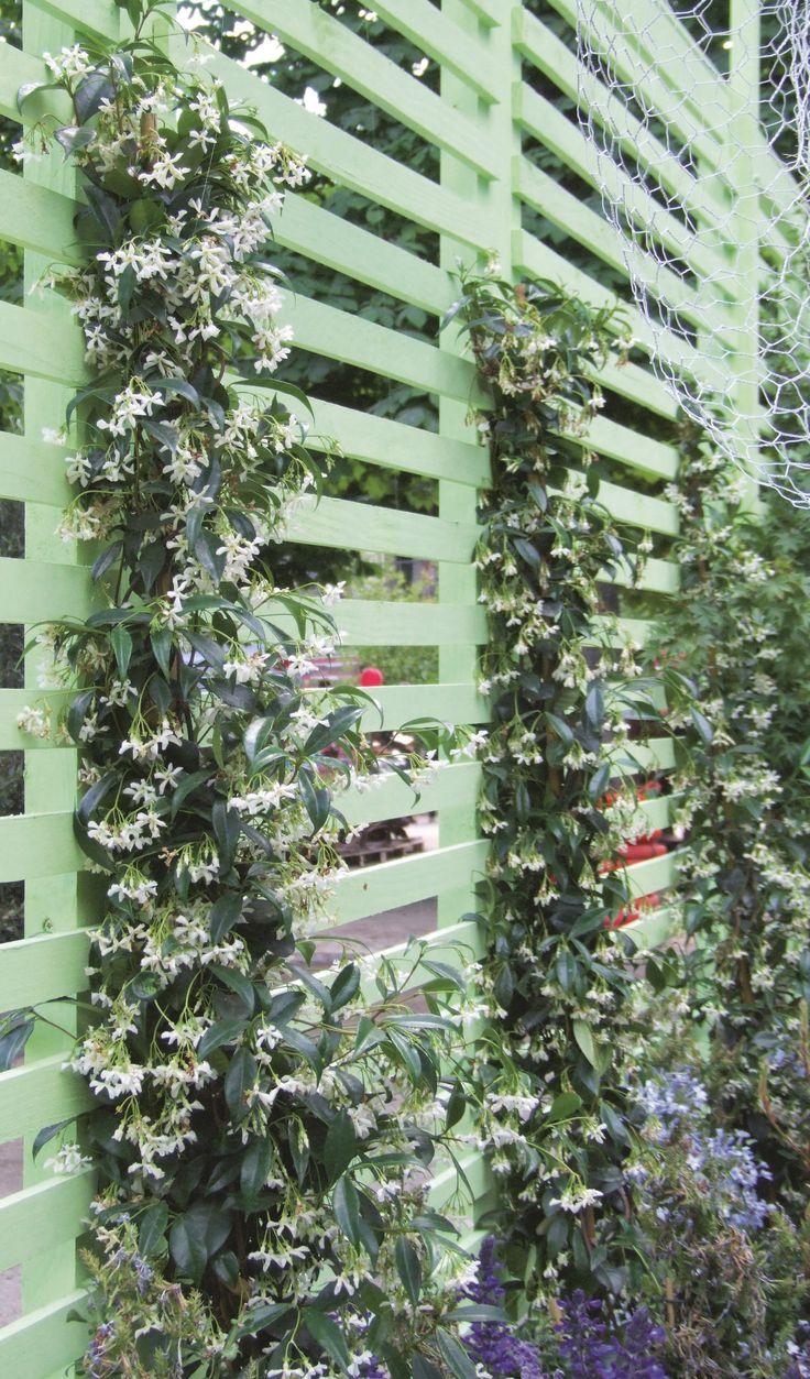 best 25 plante grimpante persistant ideas on pinterest plante grimpante feuillage persistant. Black Bedroom Furniture Sets. Home Design Ideas