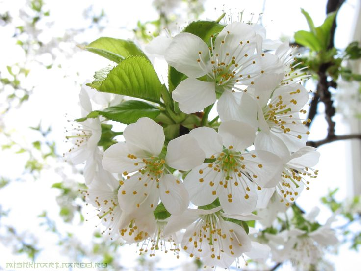 13 best flowers images on pinterest flowers plants and cherry flower white blossoms mightylinksfo