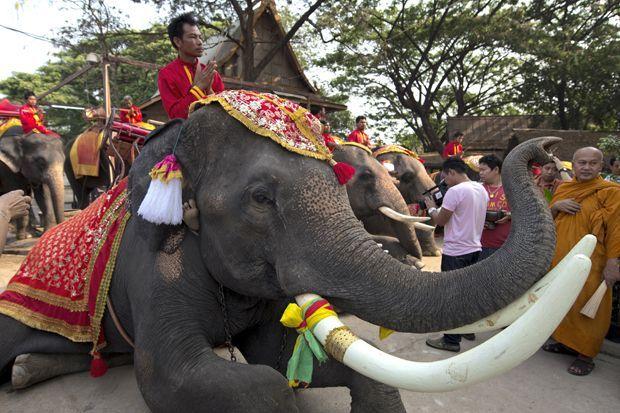 Mahouts tailandeses rezar no dia 13 de março, como parte dos serviços para o dia nacional do elefante, que teve como objetivo aumentar a conscientização sobre a situação do elefante asiático na Tailândia. Embora a sua principal ameaça naquele país é a perda de habitat de desenvolvimento humano, marfim caça ilegal também é uma preocupação, mas apenas para os homens (as mulheres geralmente não crescem presas visíveis )