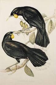 drawings huia - Google Search