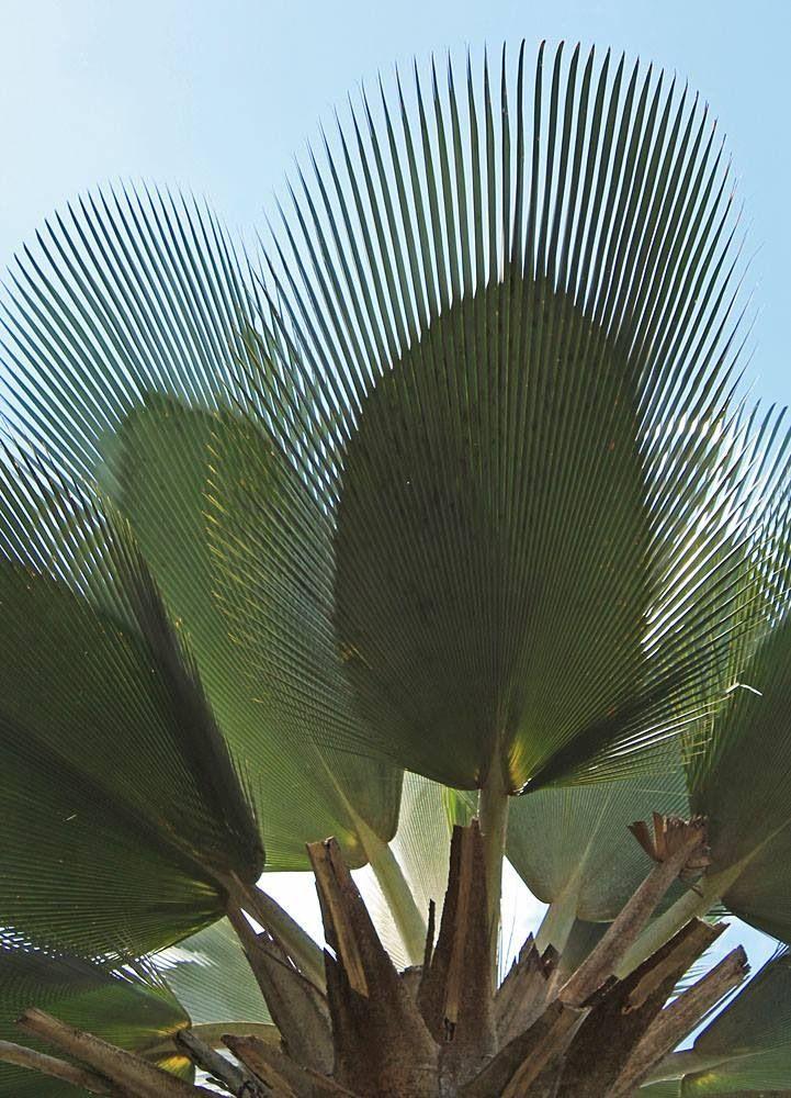 The Distinct Leaf of a Copernicia Fallaensis a Leaf within a Leaf