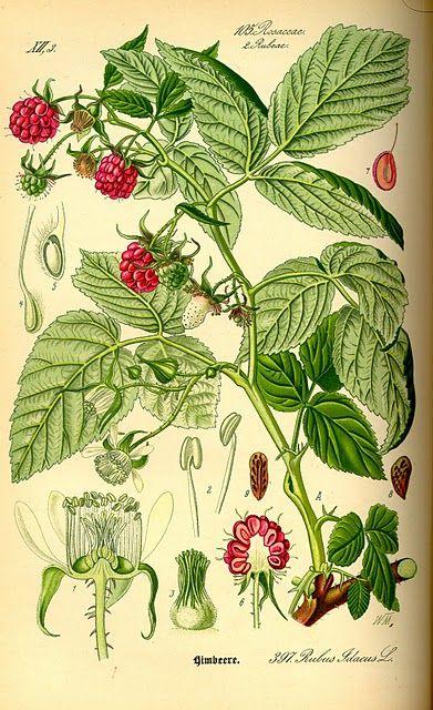 [ Rubus idaeus: Red Raspberry ] Botanical Plate, 1885 ~ from vintageephemera.blogspot.com